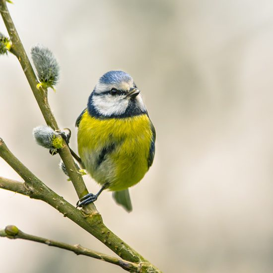 Blue tit on willow twig