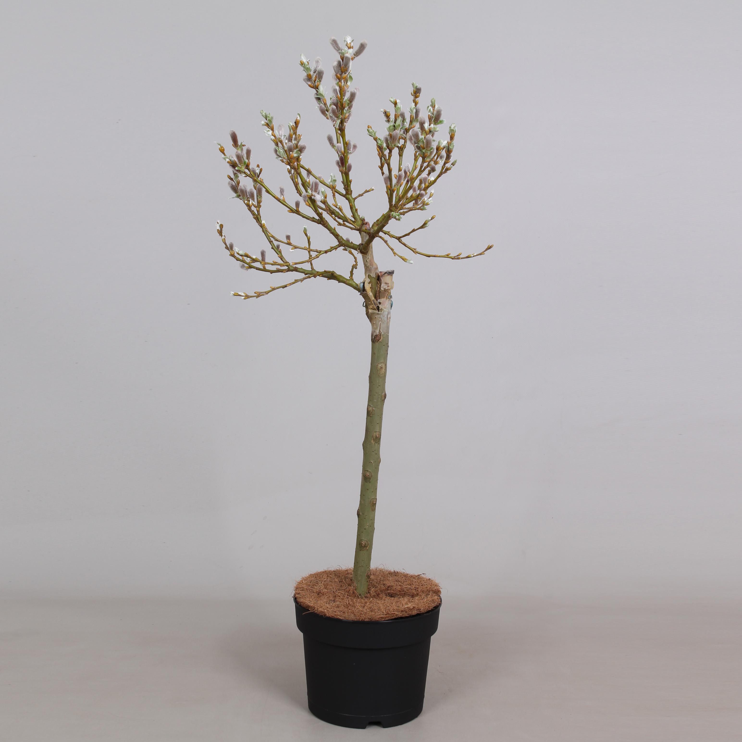 Salix Helvetica, stam 40