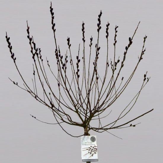 Salix Gracilistyla Melanostachys