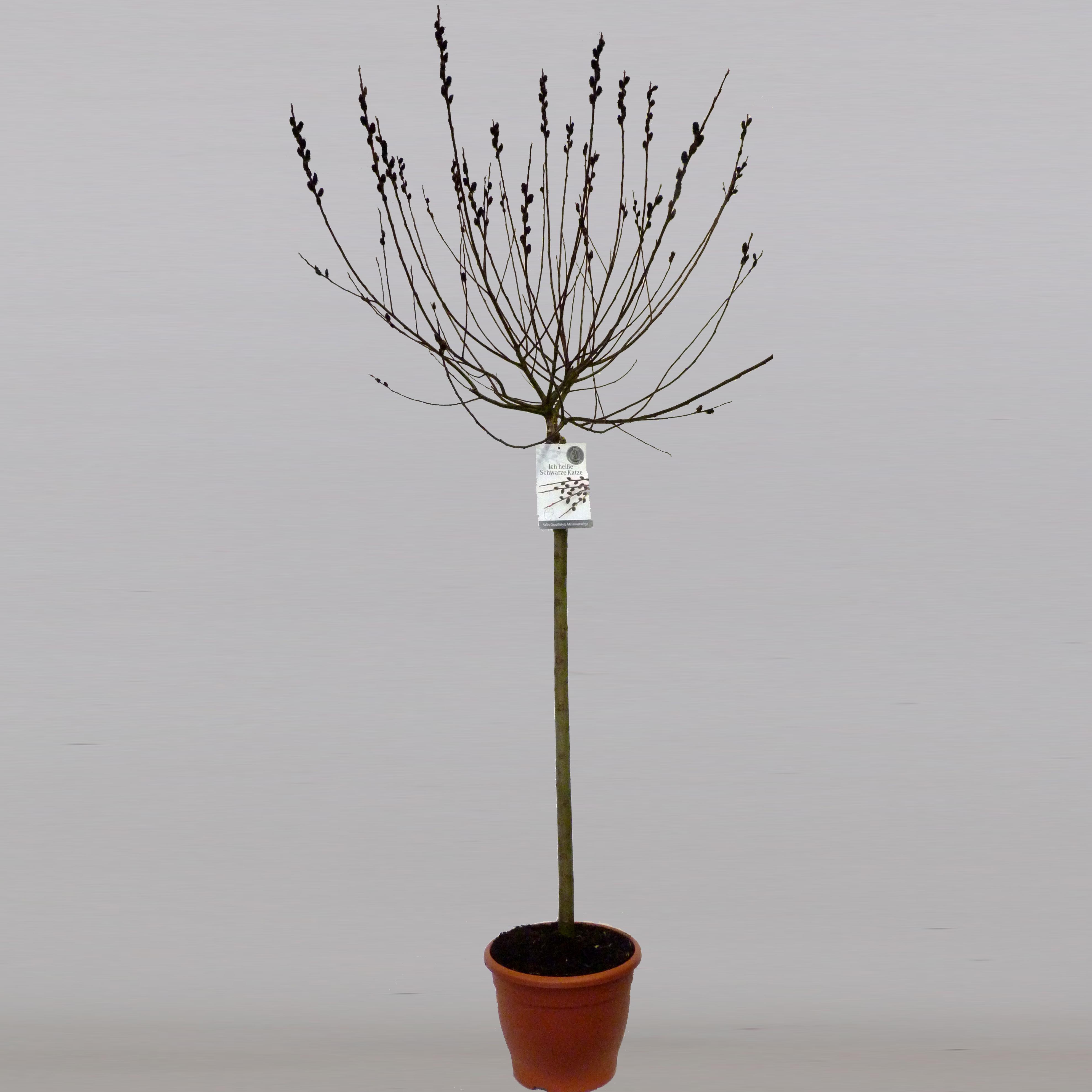 Salix Gracilistyla Melanostachys (stam 100)