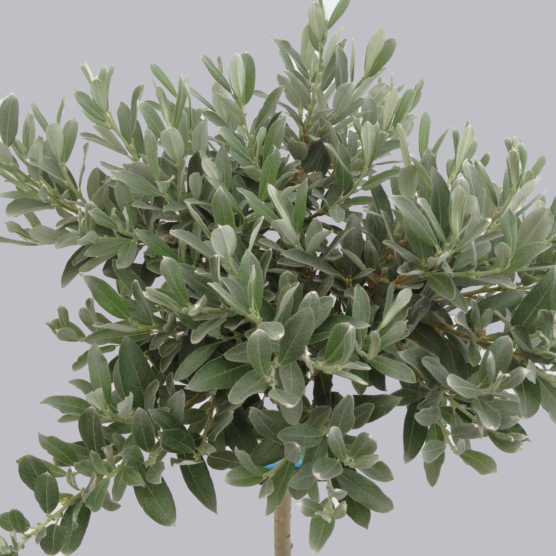 Salix Helvetica, kroon